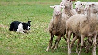 Como um Border Collie encerra ovelhas no cercado