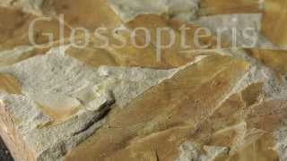 Glossopteris Fossil
