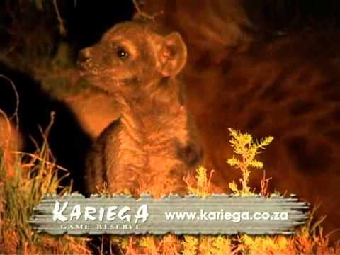 Hyena pups at Kariega Game Reserve