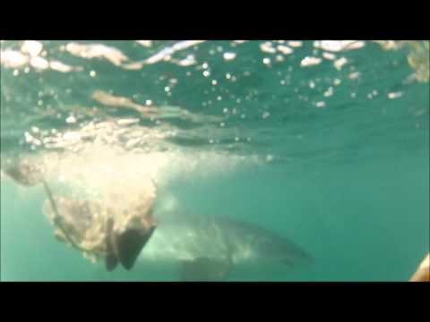 Great White Shark Diving – GoPro HD