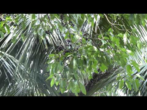 Panasonic HDC – SD 700 Blackberrys on a tree