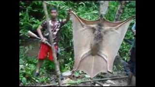 Maior morcego do mundo capturado nas Filipinas
