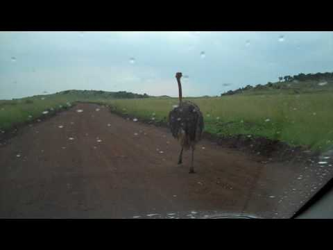 Ostrich at the Lion Reserve