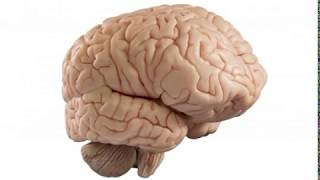 What Is the Relationship between the Amygdala and Hippocampus
