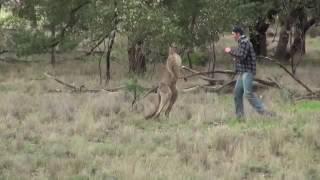 Homem da soco em Canguru para salvar seu cachorro