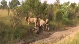 VIDA SELVASJEM-Africa- 4 Leão - 1 Leão Leones