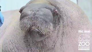 Neurofunk Walrus