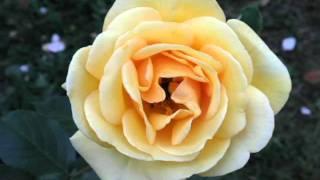 Rose su rose  canta Mina,  scatta Elvira Tonelli
