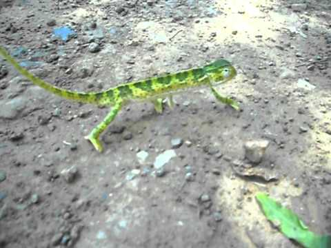 South Africa Chameleon – www.travelyourassof.com