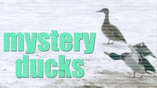 9 Funny Cute Little Ducks dancing on the beach - with a secret message