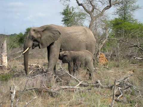 Nursing baby elephant