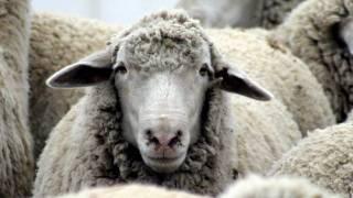 Învârtita oilor