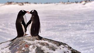 Tudo por amor: pinguins ladrões - Planeta Gelado l Discovery Channel