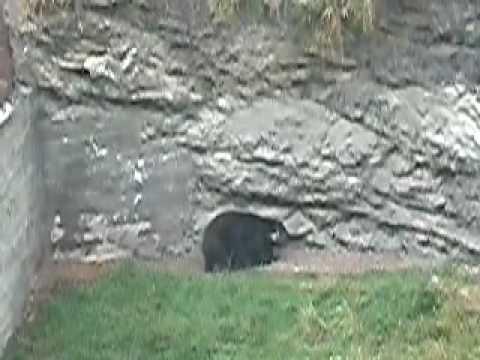 ursos – o ataque.mp4