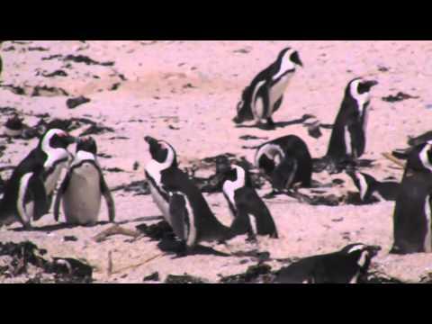 SA Capetown Penguins Focus