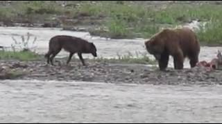 Wolf Tries to Have a Bite of Bear's Meal