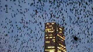 An swarm off attack birds in downtown huston texas. Bird poooooppppppp !!!!