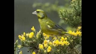 تغريد طائر الخضري - Greenfinch Singning - cante del verderon