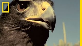 Harris's Hawks vs. Jackrabbit | National Geographic