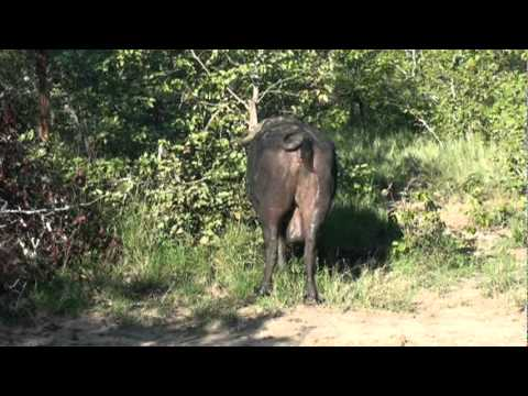 Cape Buffalo getting up from its bath
