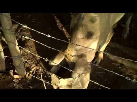 Pig Feeding at RBR-Nicaragua