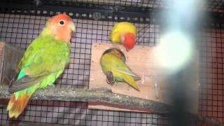 Opalines african lovebirds