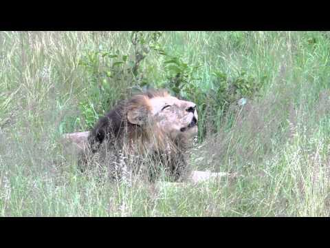 SA Jan 2012: Sabi Sands. Male Lion