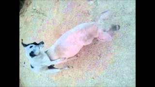 Acasalamento Entre a Porca Baby e o Pintcher - Cachorro Safado