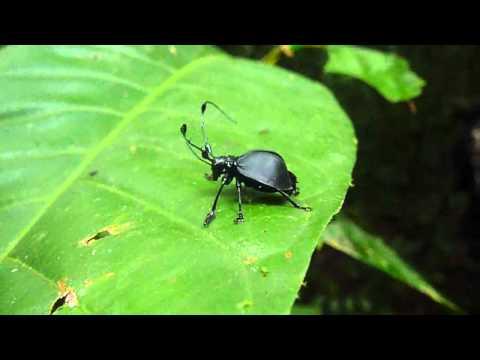 Cerambicidae Unknown in the Yasuni