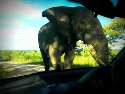 Very close encounter with elephant at the Kruger park South Africa (part 2) different angle