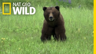 Scientists Use Salmon Guts to Study Bears | Destination WILD