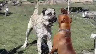 Kangal vs pitbul