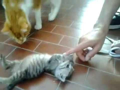 Consigli Per Accudire Un Gattino Di Un Mese Senza Mamma Animali
