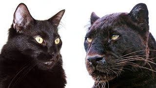 10 Ways Domestic Cats and Big Cats Are Similar