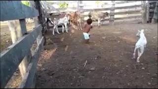 Criança lançando boi