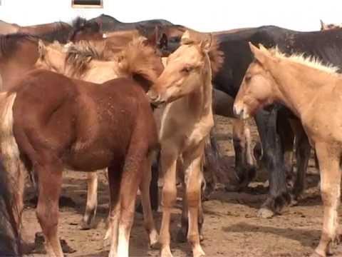 Развитие коневодства в Калтасинском районе