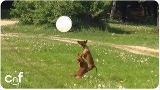 Dachshund Dog Balloon Fun!