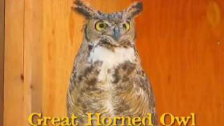 Great Horned Owl hooting.
