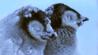 Penguin Chicks Struggle To Survive | Planet Earth | BBC Earth width=