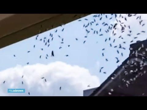 Onaangename verrassing: krioelende berg vliegende mieren in je huis - RTL NIEUWS