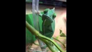 My talking chameleon!