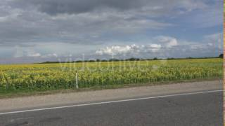 Car is Moving on Road Before Field of Sunflowers Cloudy Sky is in Background