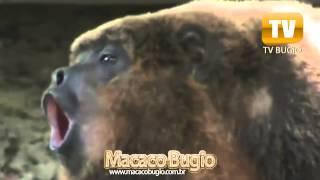 Macaco Bugio o Macaco que Grita!