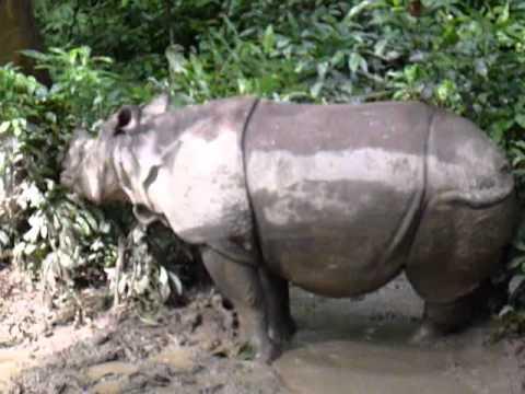 Rinoceronte con su cria en P.N. Chitwan, Nepal