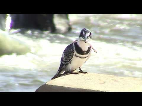 Hunting Pied Kingfisher (Ceryle rudis) – Kruger National Park, South Africa