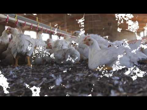 Change for chickens - covered in litter
