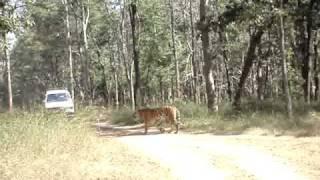 Pench Jungle Tiger Sighting (Tiger Walk)