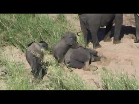 Grazing Elephants – Kruger NP, South Africa