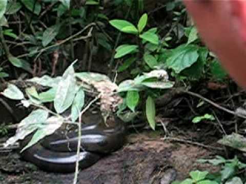 anaconda in Cuyabeno, Ecuador