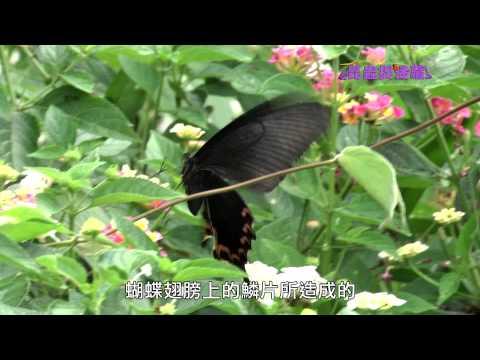 《昆蟲捉迷藏》以柔克剛的祕密【華麗的舞者:訪花蝴蝶】 - YouTube